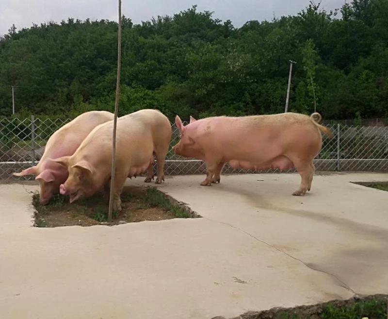 丹系大白种猪